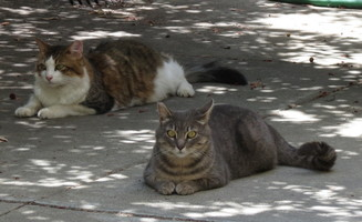 Tricolor male and tabby male lying on sidewalk
