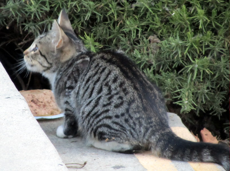 Pictures Of Tabby Cats With White Paws