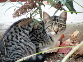 Tabby cat, side view, looking at camera