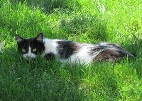 Black-spotted white cat with black mask hiding in grass.